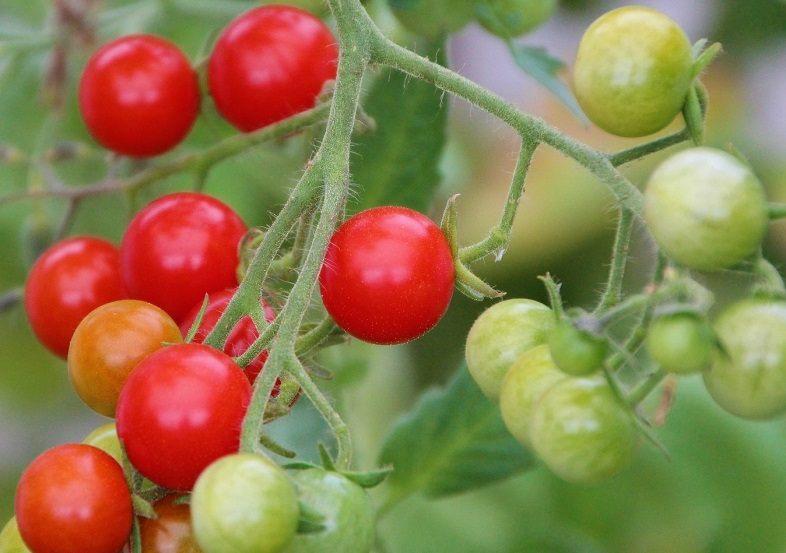 c den bitki isimleri çeri domates