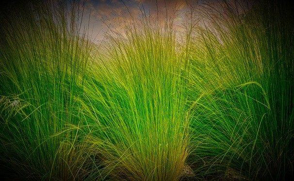 c ile başlayan bitki çimen